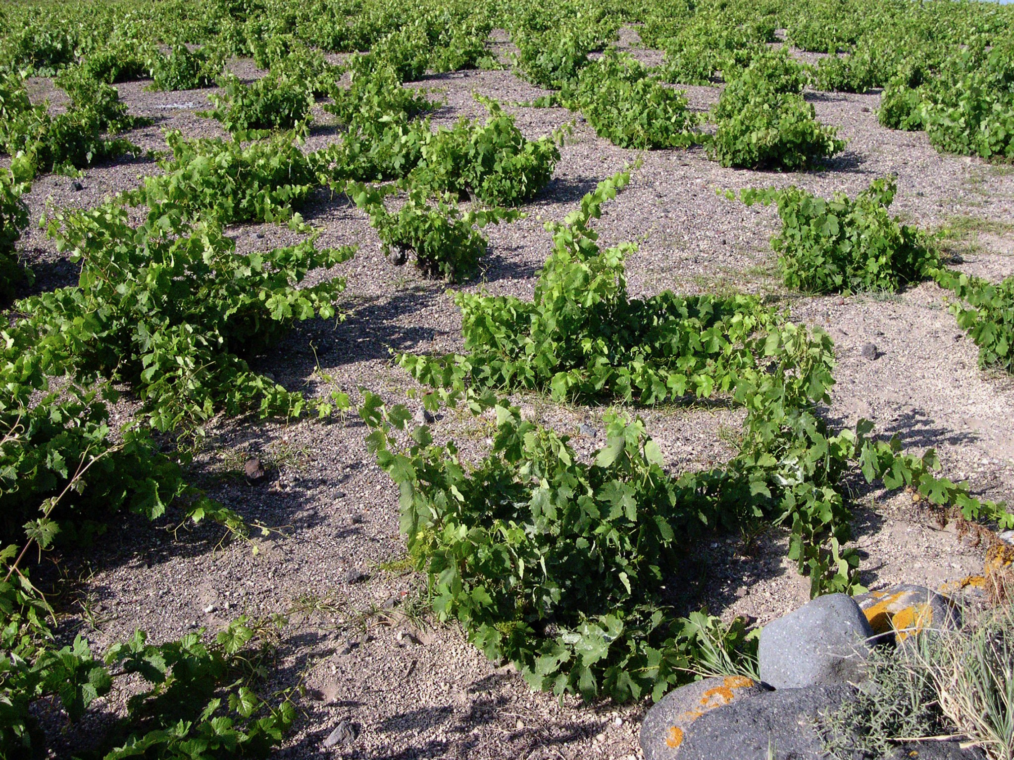 View of grapevines grown close to the ground in Santorini