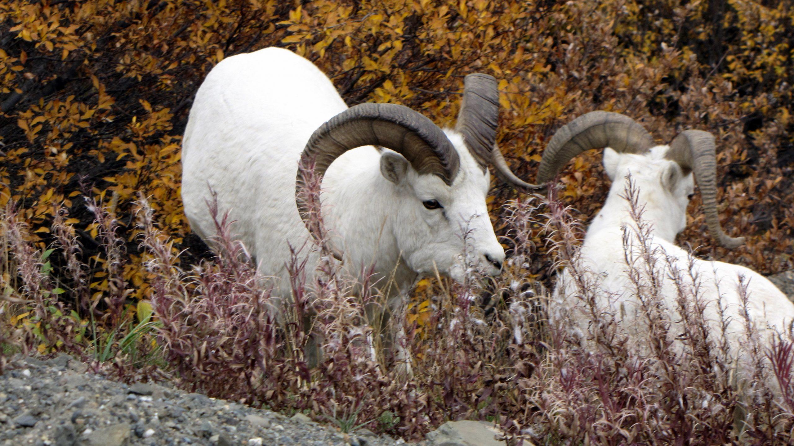 Dall sheep inside Denali National Park. Image Cindy Dykman