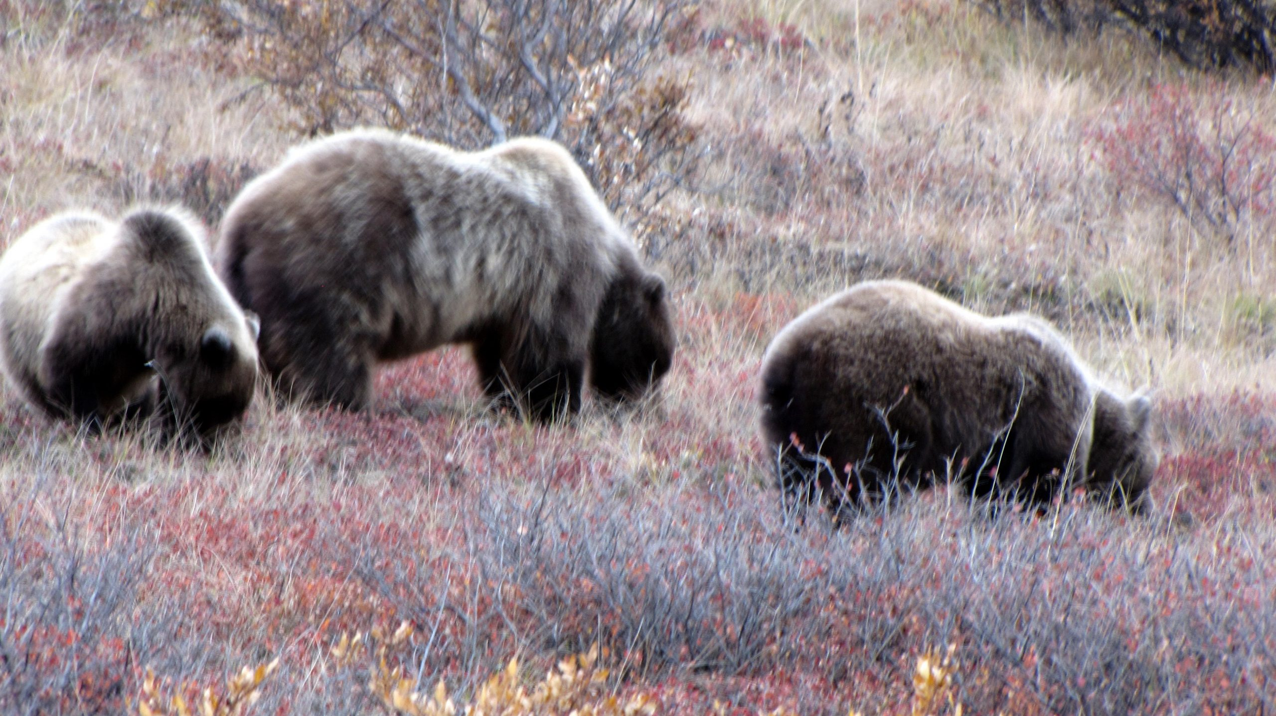 Bears searching for Fall berries in Denali National Park