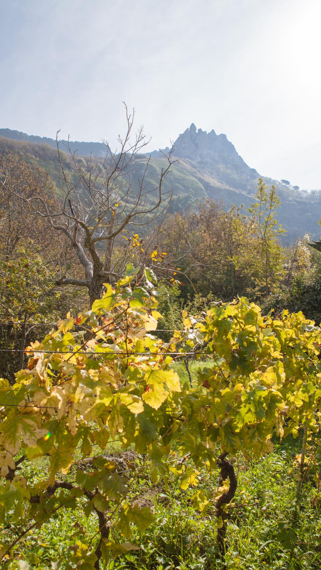 Vineyard View of Mount Eponmeo, Ischia