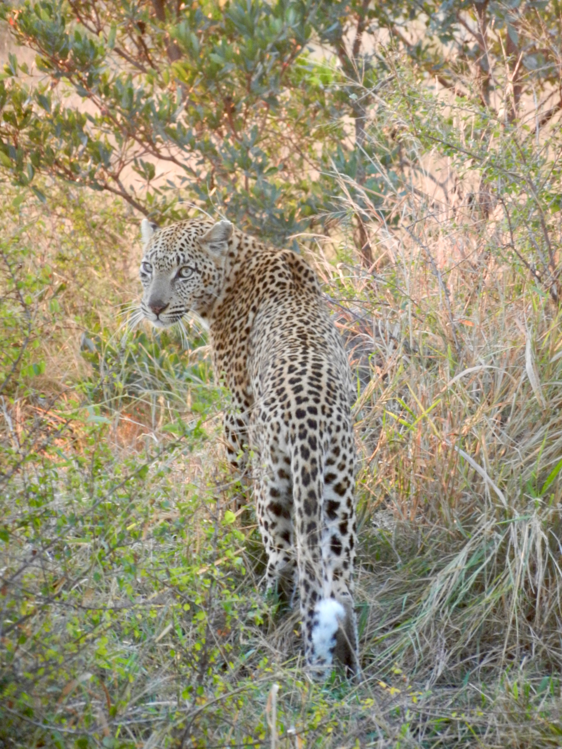 Cheetah checking us out in Kruger National Park, South Africa. Image Cindy Dykman