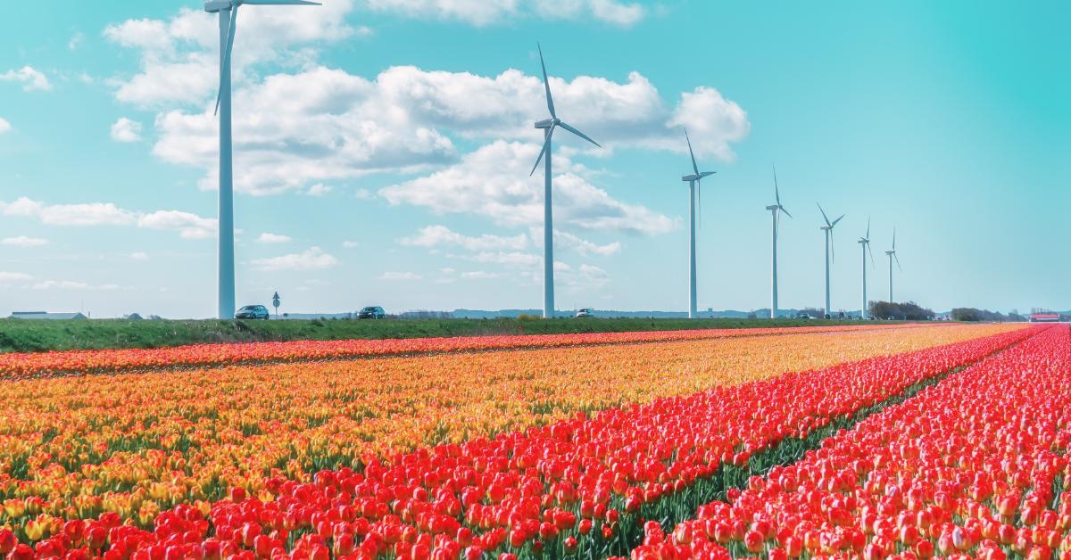 Tulip fields near Noordoostpolder