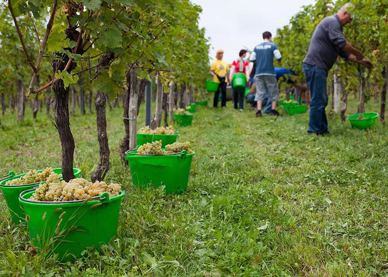 Harvest in the Goriska Brda region